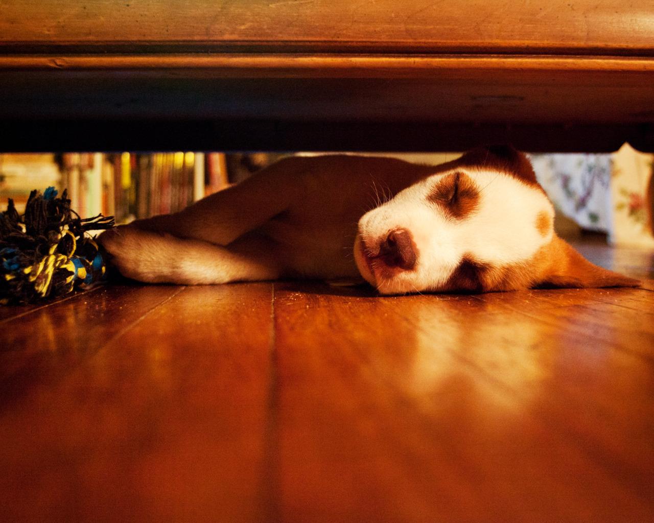Леопардовая собака Катахулы спит фото