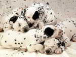 Sleeping Dalmatian puppies