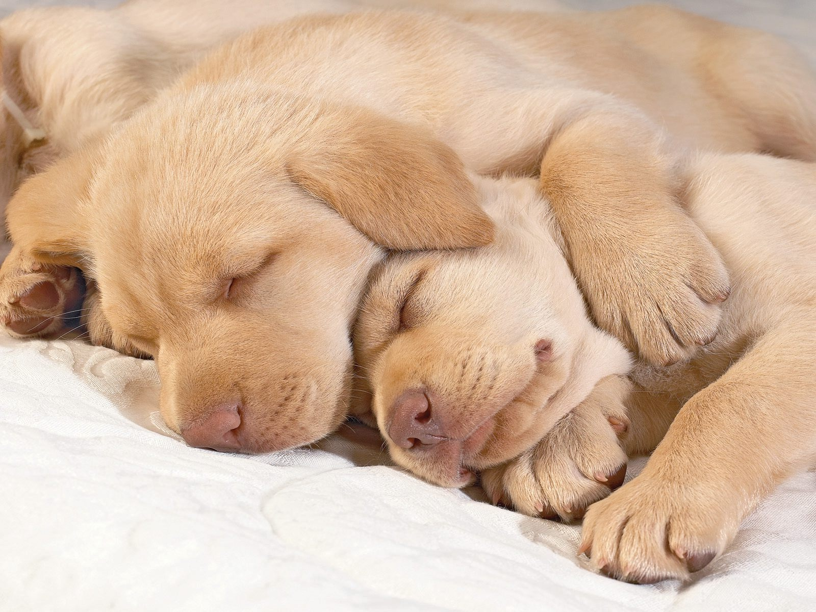 Sleeping Golden Retriever Puppies Photo