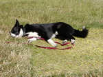 Sleeping Karelian Bear Dog