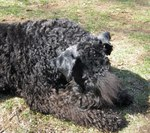 Sleeping Kerry Blue Terrier