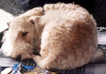Sleeping Lakeland Terrier dog
