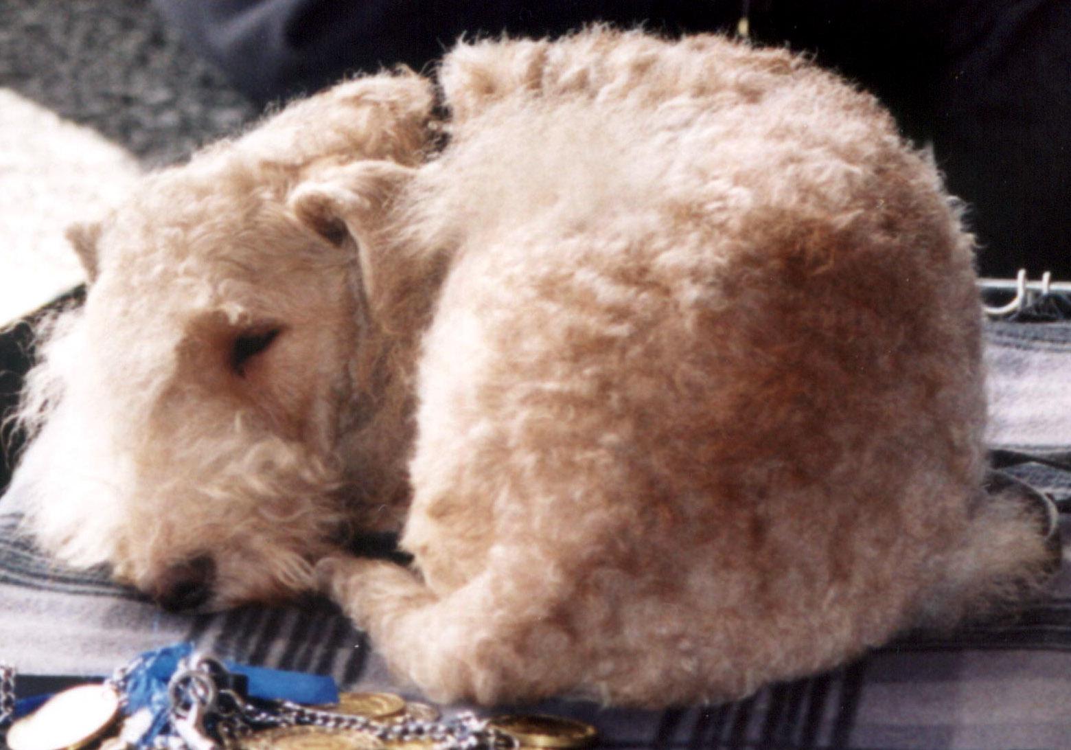 Sleeping Lakeland Terrier dog wallpaper