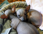 Sleeping Mexican Hairless Dog puppies