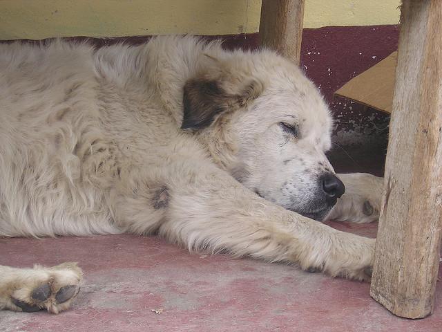 Собака мукучиес спит фото
