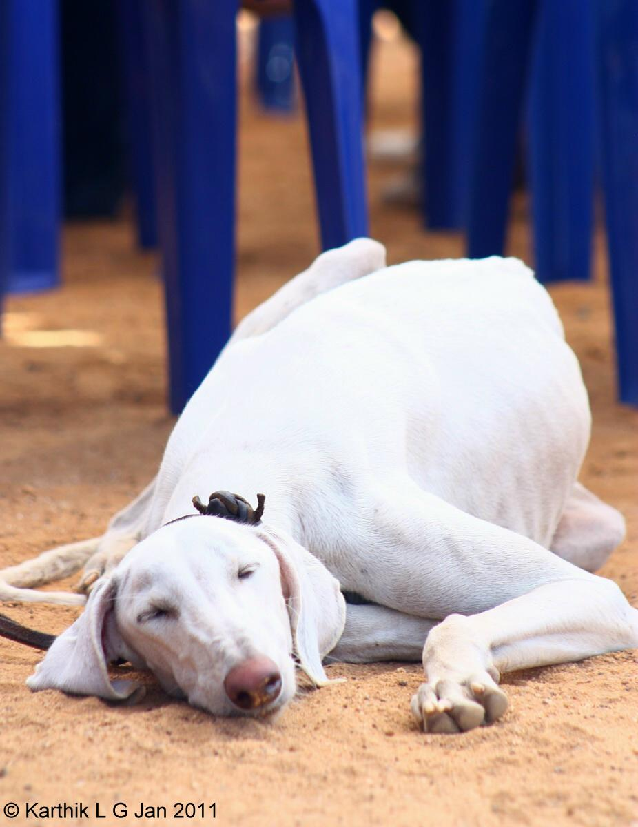 Add photos Sleeping Mudhol Hound dog in your blog: