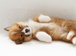 Sleeping Welsh Corgi Pembroke dog