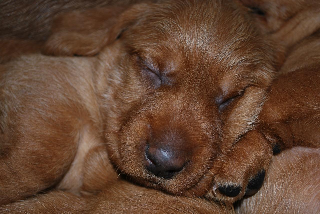 Sleepy Fauve de Bretagne puppy wallpaper