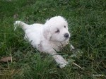 Slovak Cuvac puppy on the grass