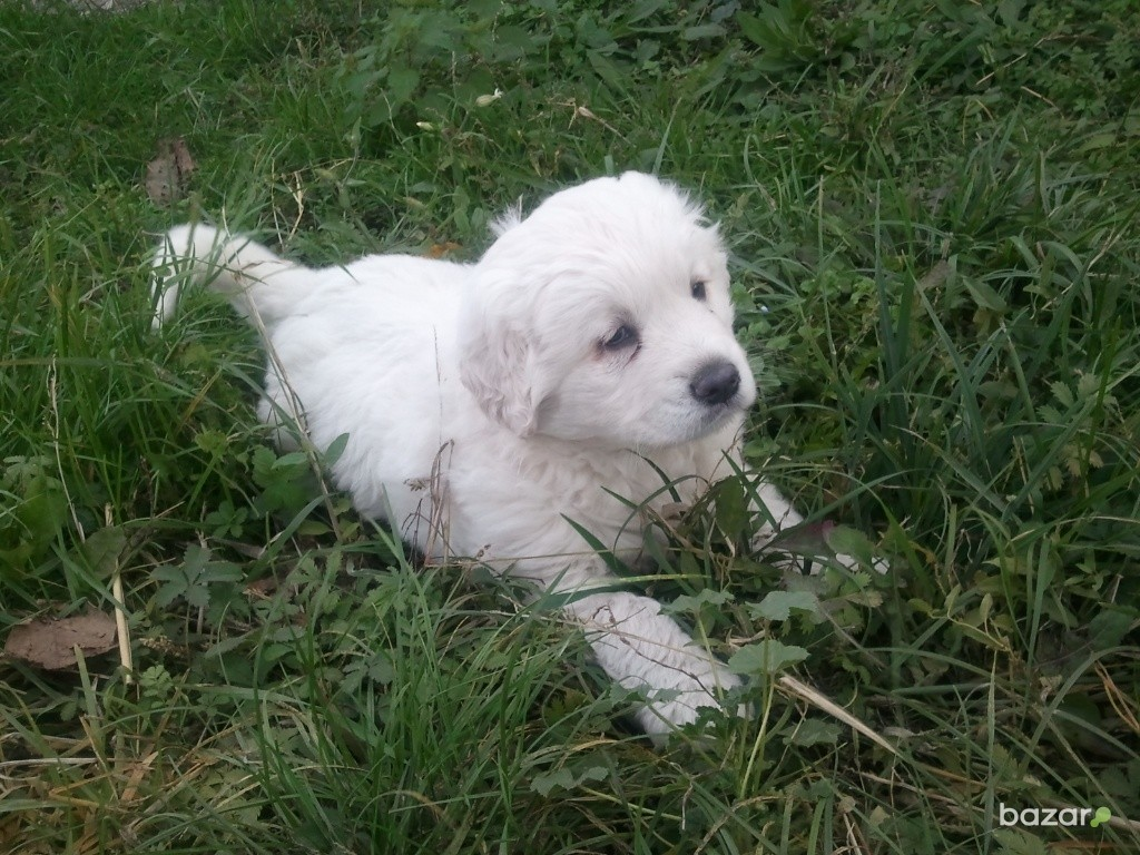Slovak Cuvac puppy on the grass wallpaper
