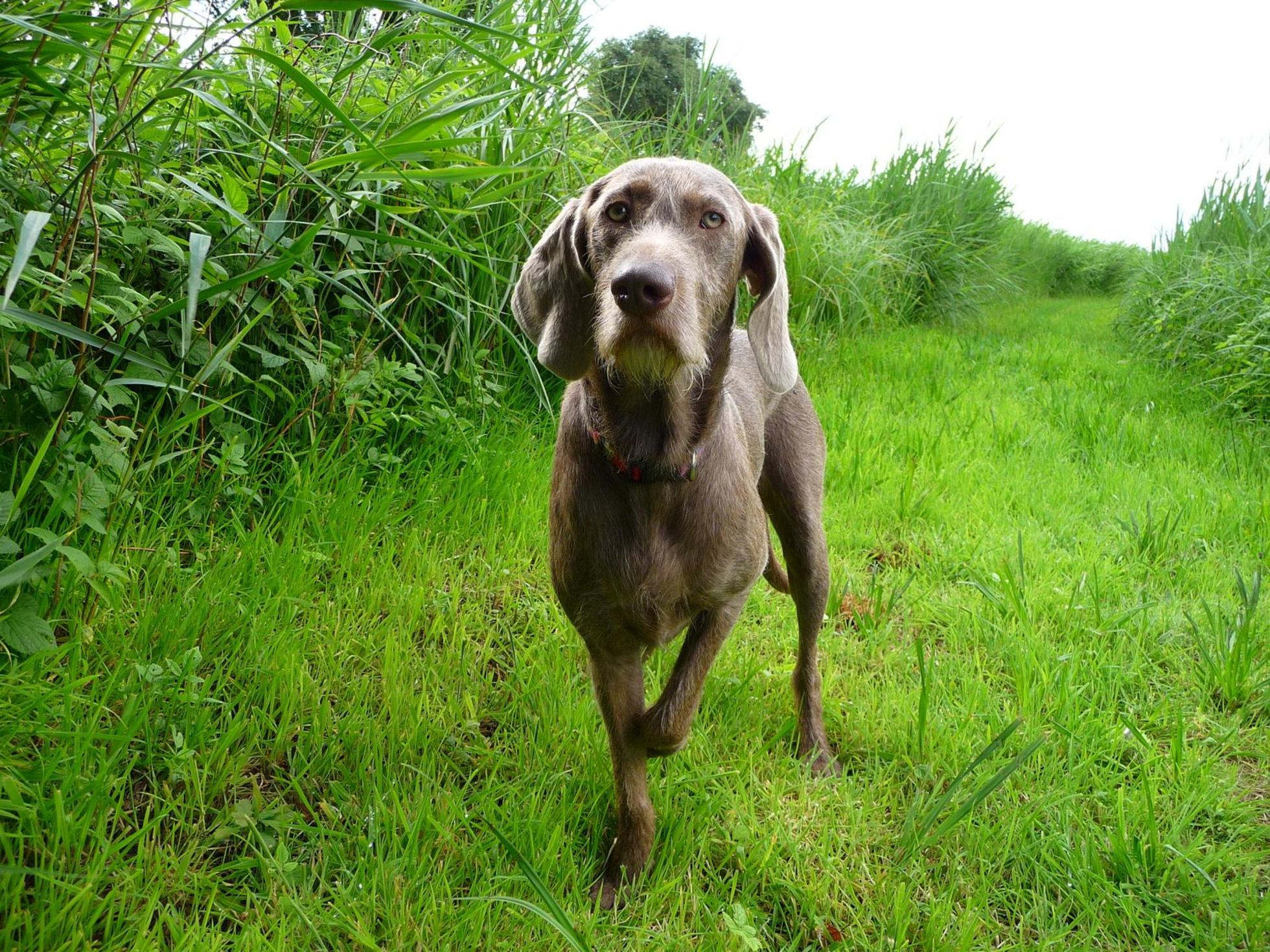 Slovakian Rough-haired Pointer dog wallpaper