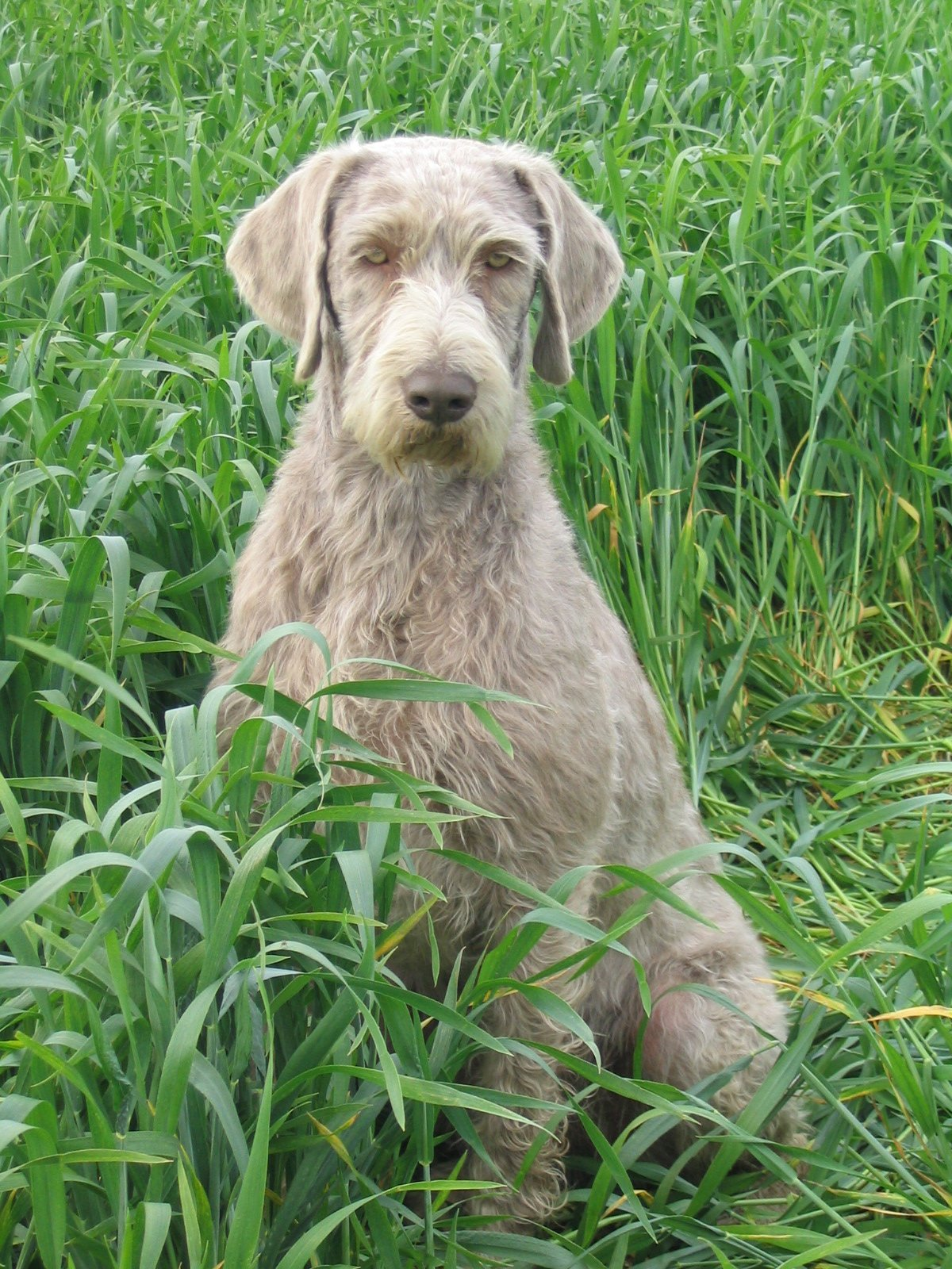 Slovakian Rough-haired Pointer in the grass wallpaper