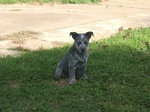 Small Australian Stumpy Tail Cattle Dog