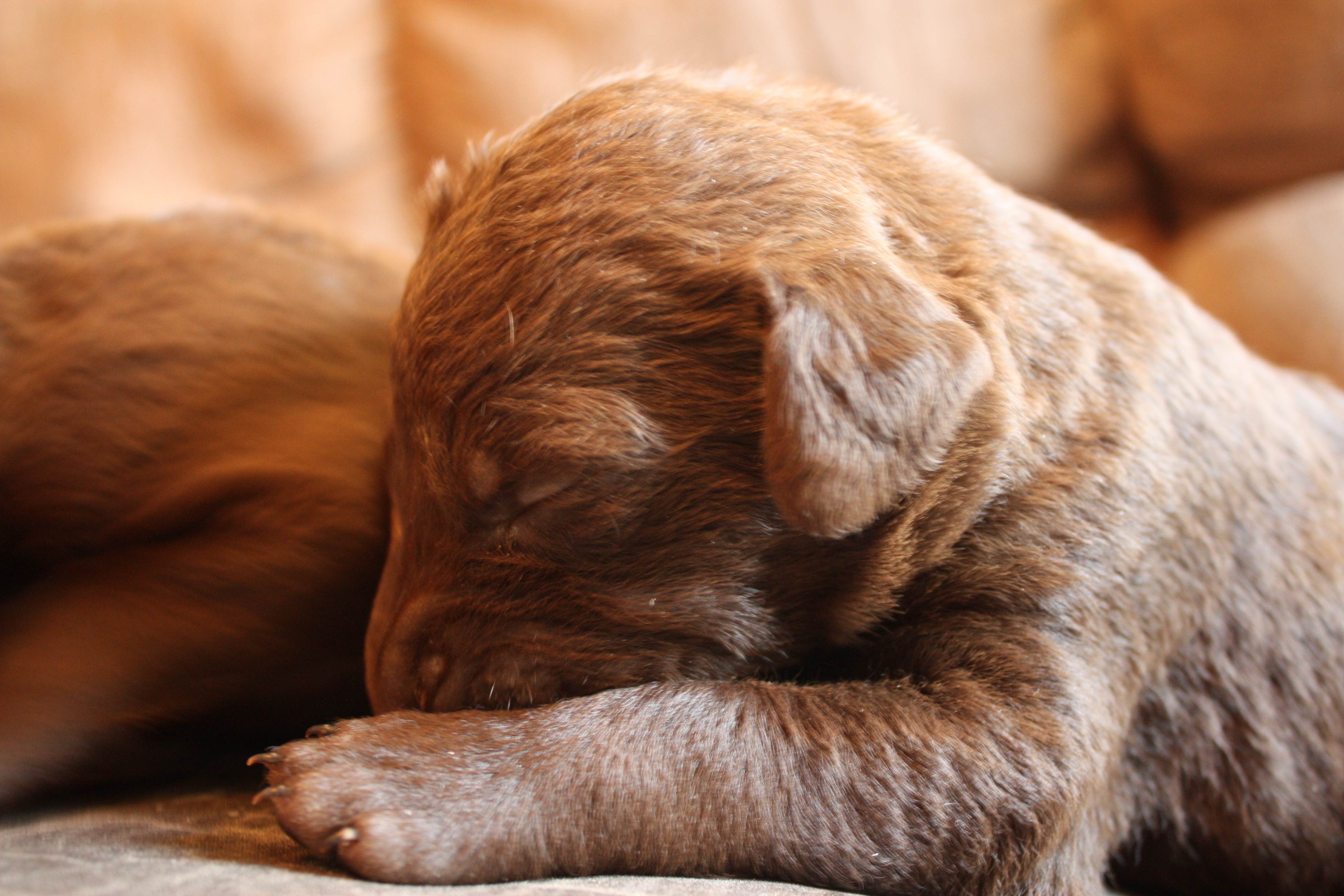 Small Chesapeake Bay Retriever puppy wallpaper