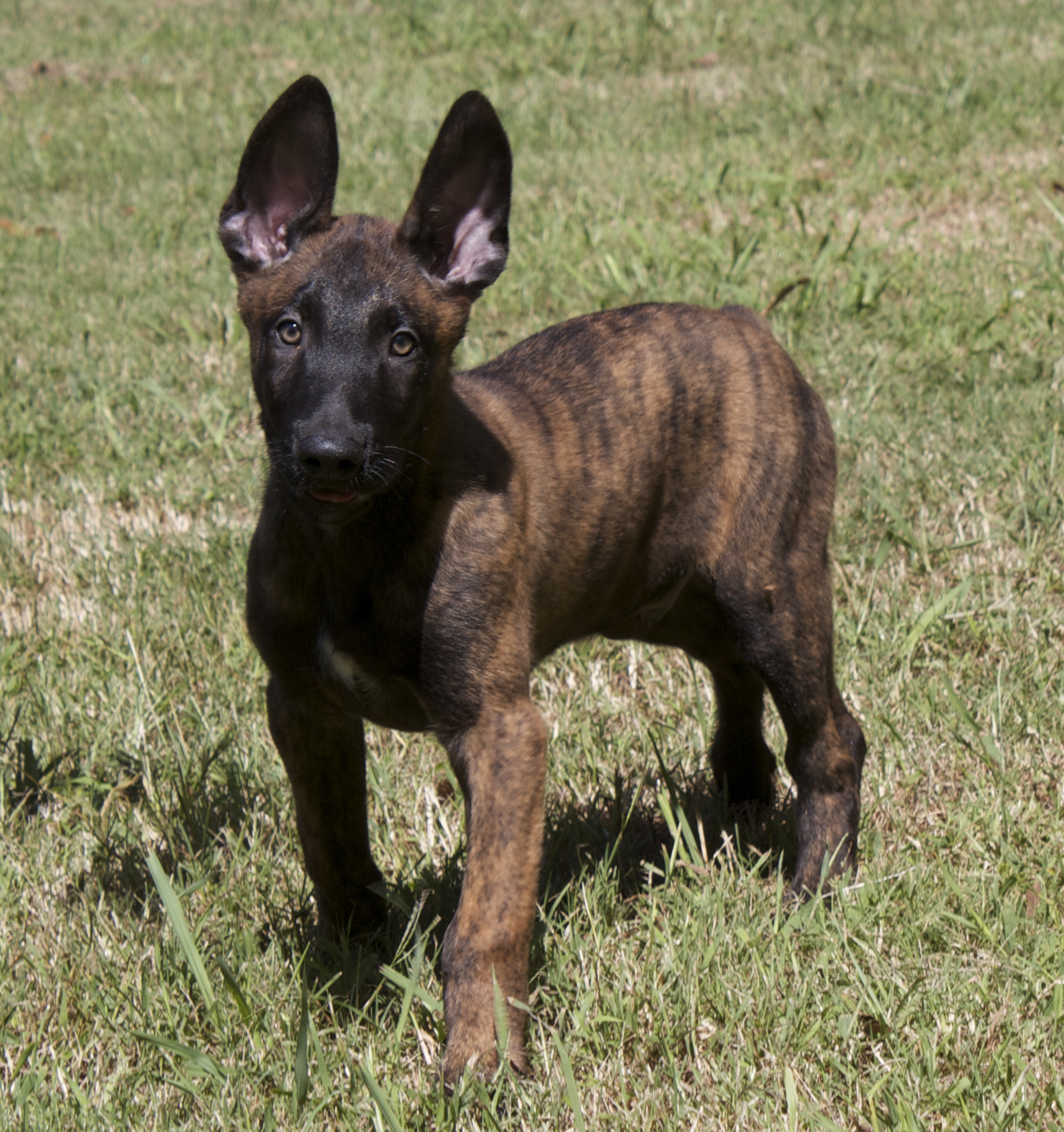 Small Dutch Shepherd Dog wallpaper