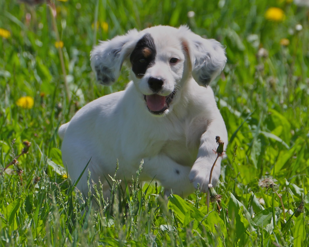 Small English Setter dog wallpaper