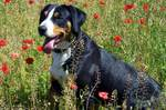 Small Entlebucher Mountain Dog