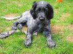 Small Epagneul Bleu de Picardie dog