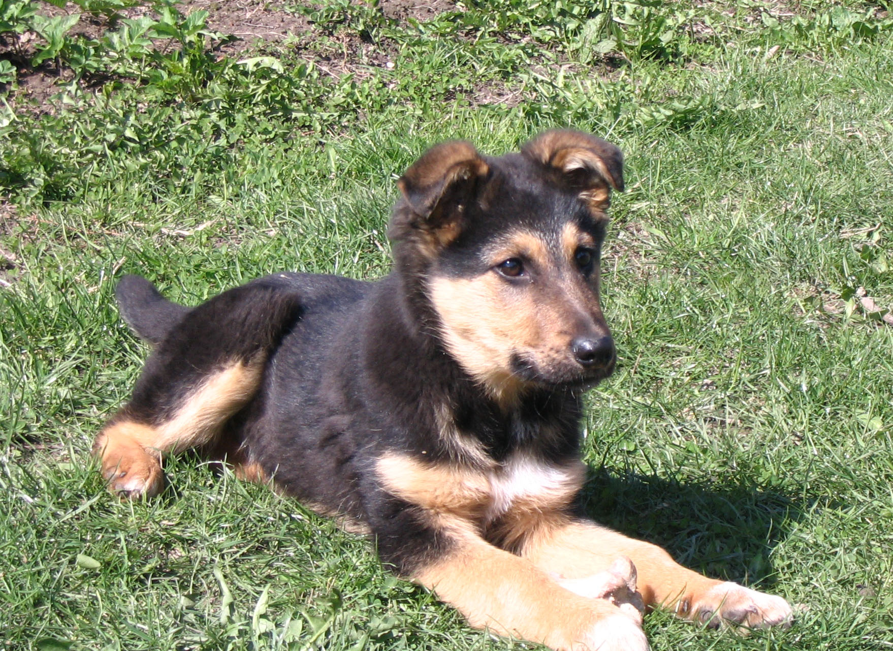 Add photos Small German Shepherd dog on the grass in your blog: