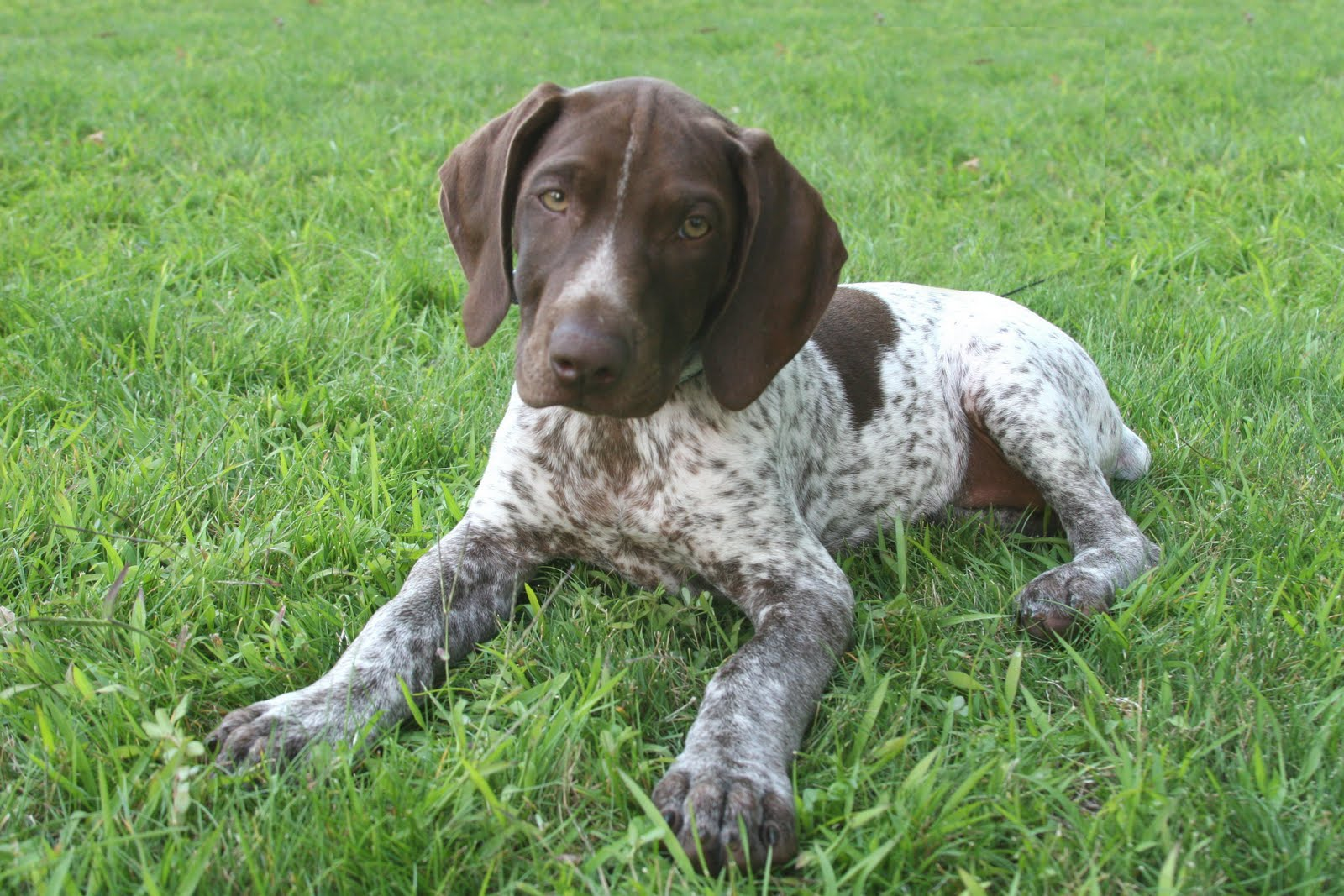 Small German Shorthaired Pointer Photo And Wallpaper Beautiful