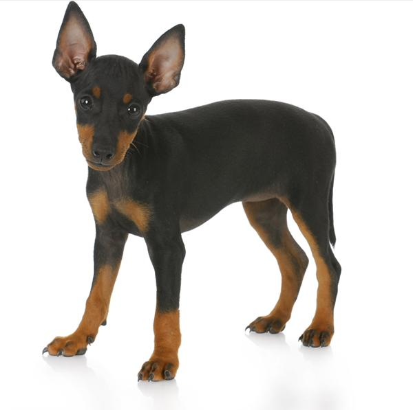 Small Toy Manchester Terrier dog on wallpaper