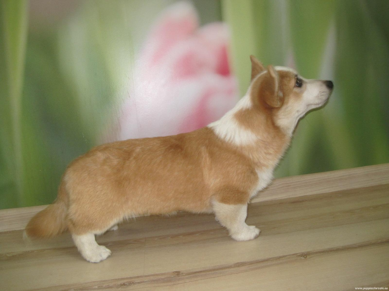Small Welsh Corgi Pembroke dog wallpaper