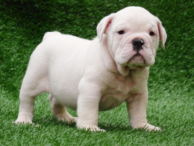 Small White English Bulldog puppy wallpaper