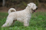 Soft-Coated Wheaten Terrier on the grass