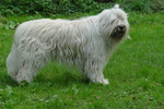 South Russian Ovcharka dog on the grass