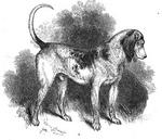 Southern Hound dog