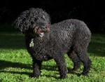 Spanish Water Dog on the grass