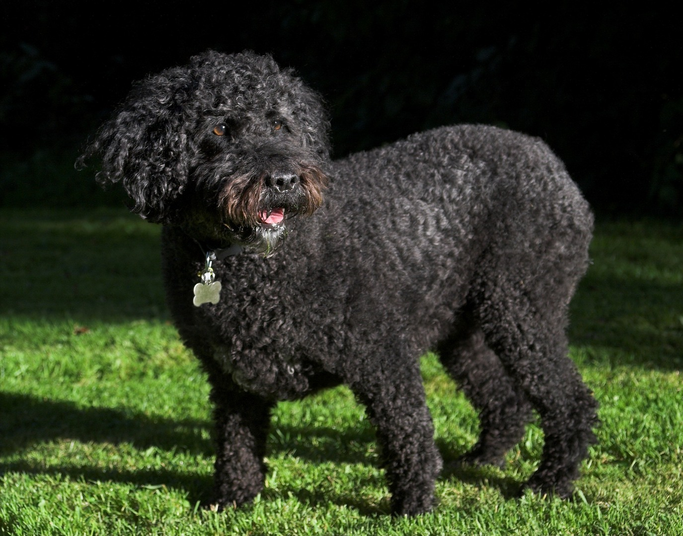 Spanish Water Dog on the grass wallpaper