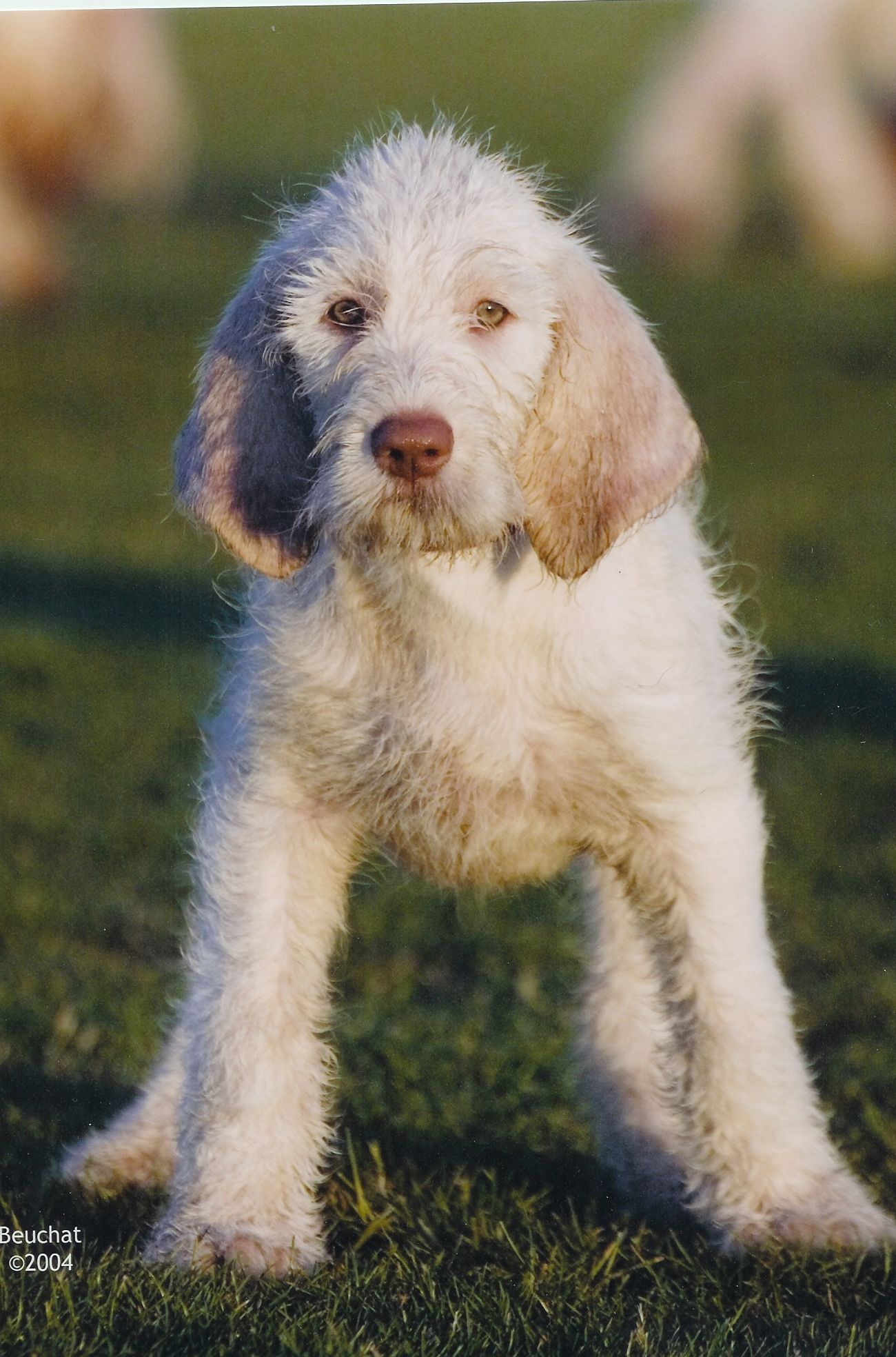 Spinone Italiano wallpaper