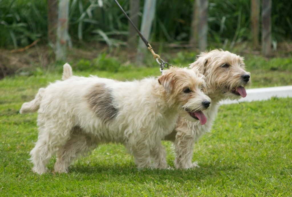 Sporting Lucas Terrier dogs wallpaper