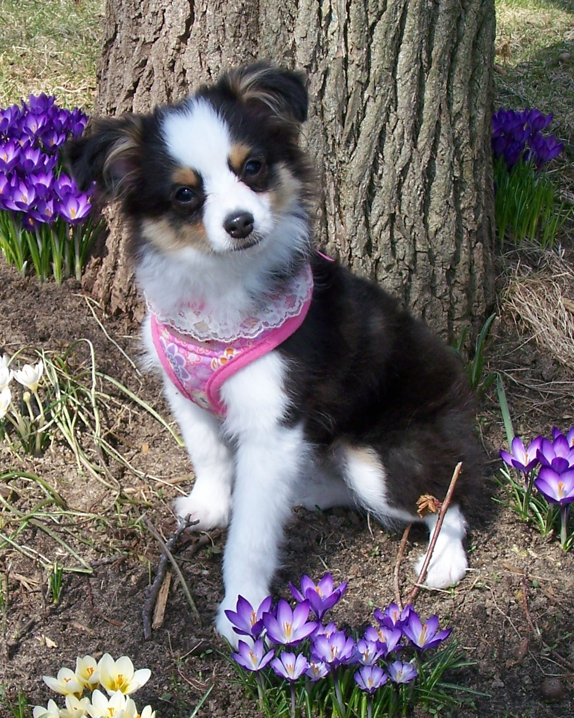 Spring Miniature Australian Shepherd wallpaper