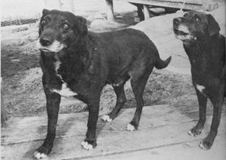 Собаки святого Джона фото