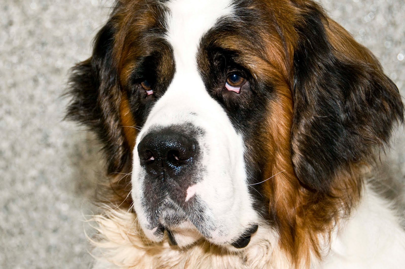 St.Bernanrd dog face wallpaper