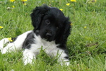 Stabyhoun puppy in the grass
