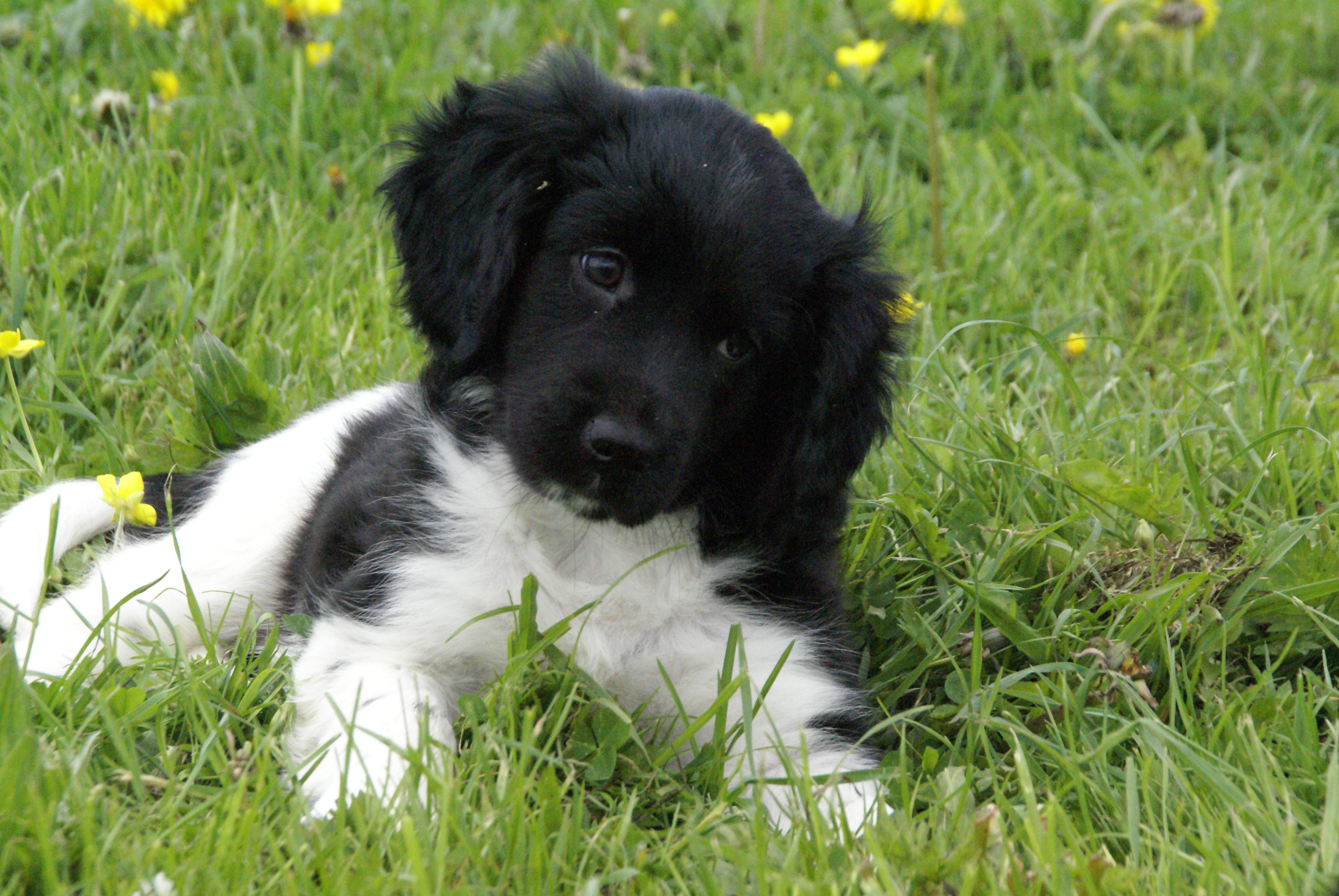 Stabyhoun puppy in the grass wallpaper