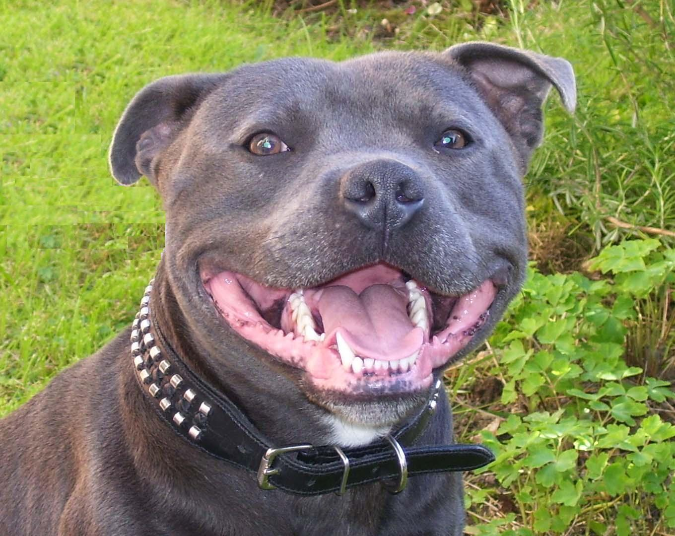 Add photos Staffordshire Bull Terrier dog face in your blog: