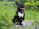 Staffordshire Bull Terrier for a walk