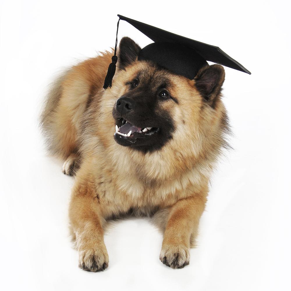 Student Eurasier dog wallpaper