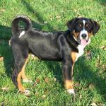 Sunny Appenzeller Sennenhund dog