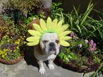 Sunny Easter Bulldog