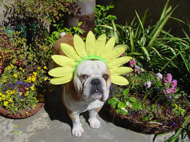 Sunny Easter Bulldog фото