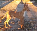 Sunset Podenco Canario dog