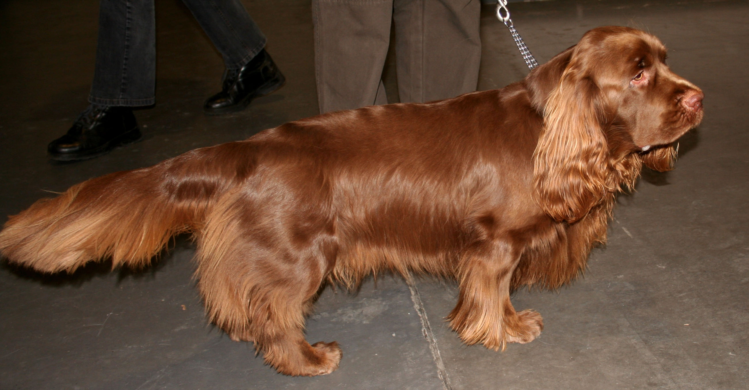 Sussex Spaniel wallpaper