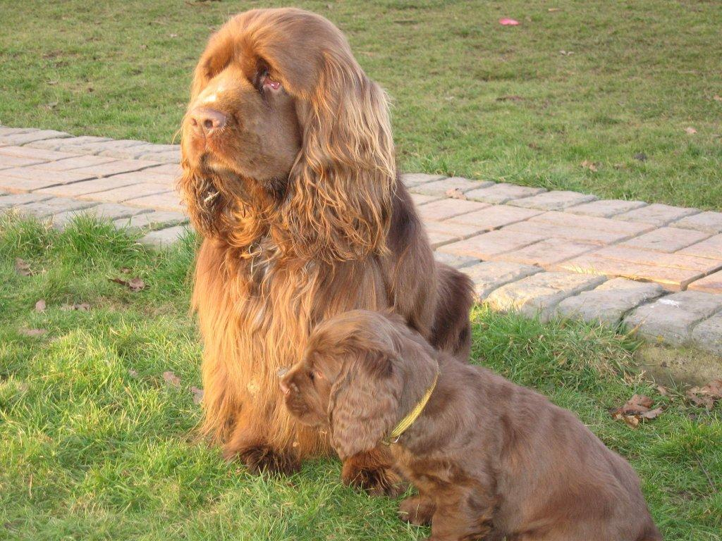 sussex spaniel with her puppy photo and wallpaper