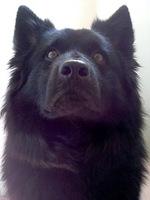 Swedish Lapphund dog face