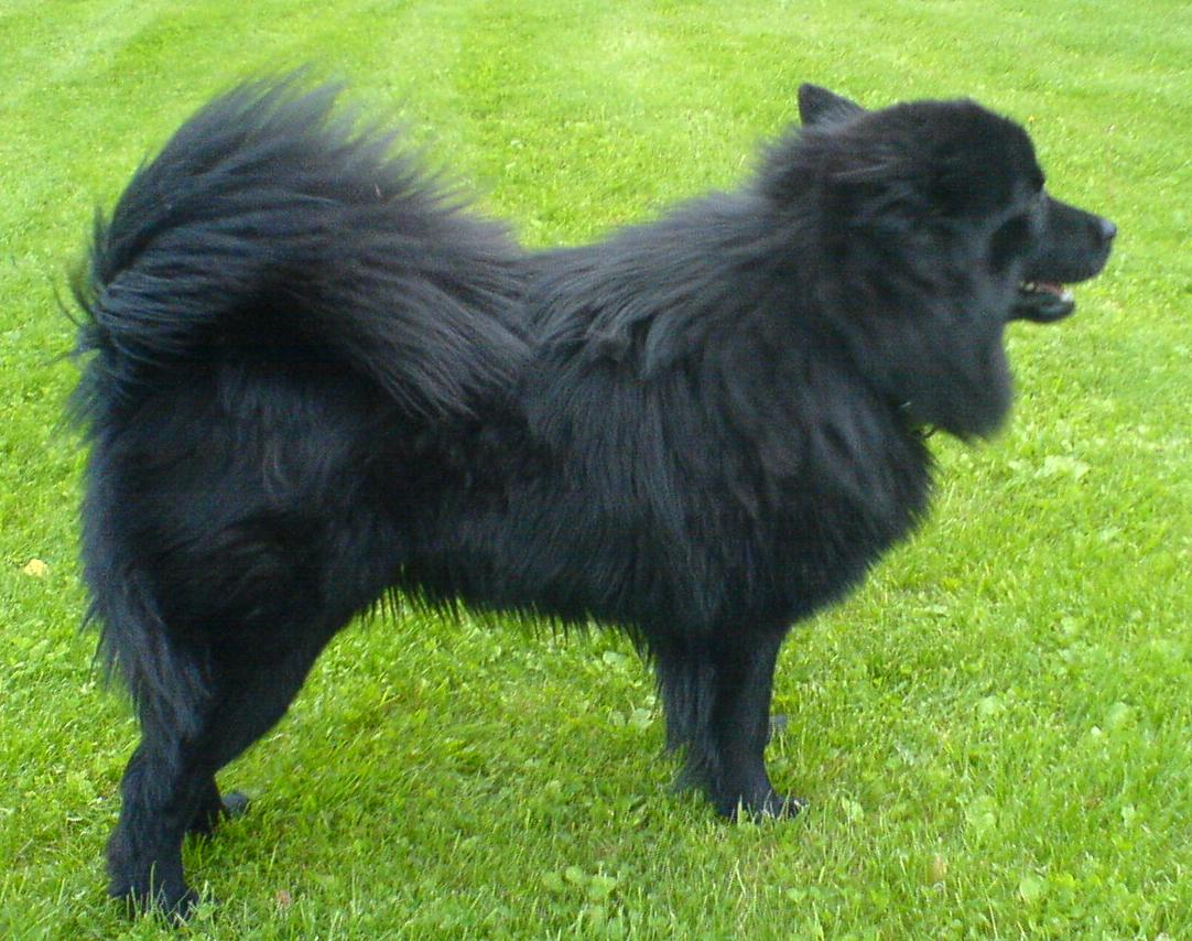 Swedish Lapphund wallpaper